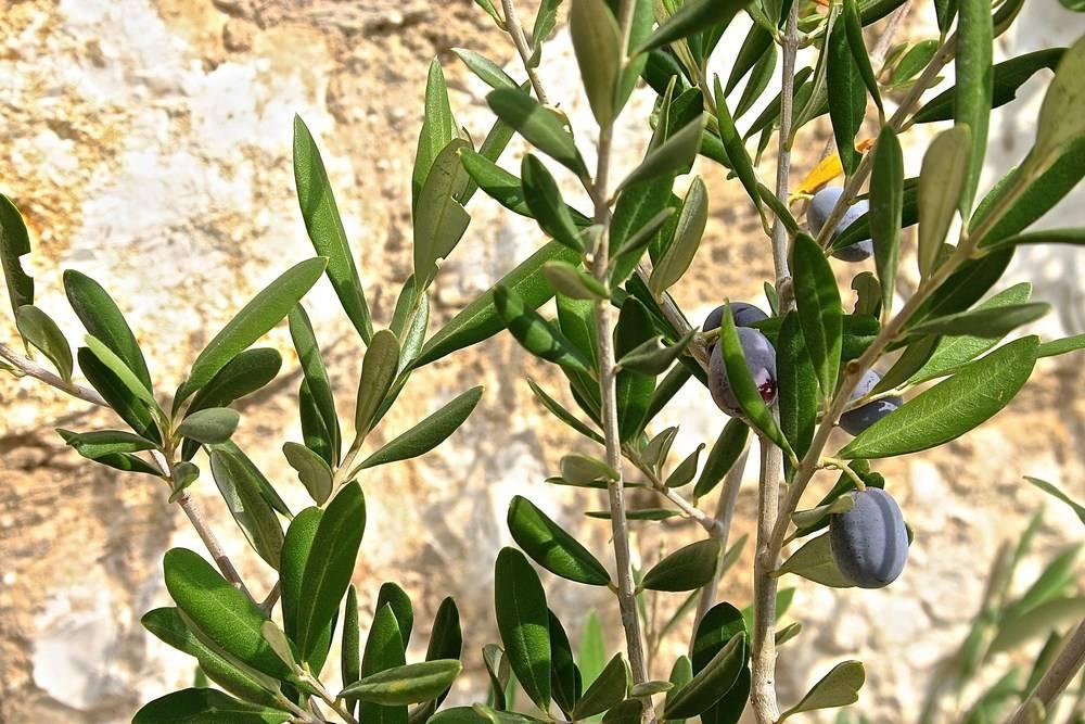 Az olívaolaj egy természetes gyümölcslé - Egészségtér