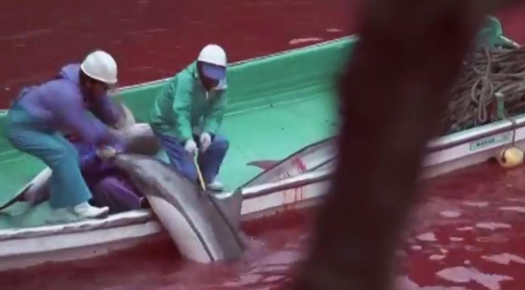 Risso-delfin vadászata